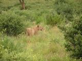 Cheetah mom keeps an eye out