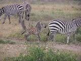 Zebra - Samburu