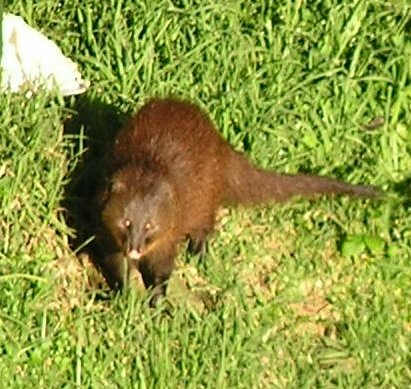 Bushy tailed mongoose2