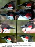 Sexing Red-whiskered Bulbul