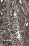 Chickadee eating fungi off of a tree