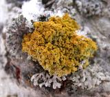 Xanthoria sp., probably X. hasseana, but with