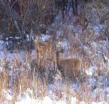 Deer on Elm Grove Rd. near MPPP