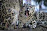 Snow leopards in Bronx Zoo Winter