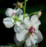 Moth Mullein(white form)