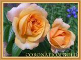 Coronation Gold