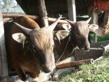 Bali cattle near the Chedi Hotel