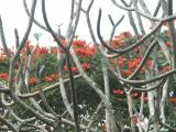 Blossoms seen through frangipani
