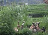 Ducks near Chedi entrance