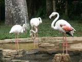 Flamingoes, Bali Bird Park