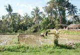 Planting rice 1