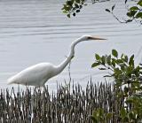 Egret  in mangroves - 2