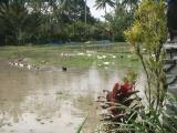 Ducks in padi, Penestanen