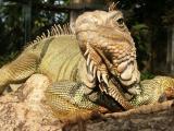 Iguana, Bali Reptile Park