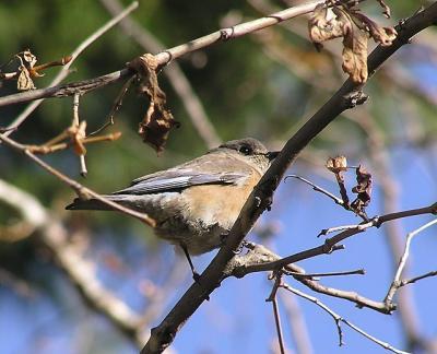 bluebird in a tree.jpg