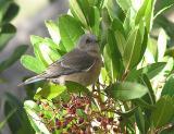 western_bluebirds
