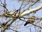 bluebird and yellow rump.jpg