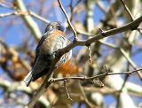 bluebird preening.jpg