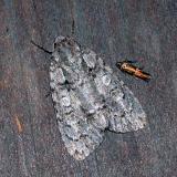 Unidentified Moths - Any Help Appreciated