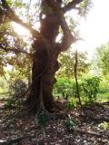 old tree lai-chi-wo .jpg