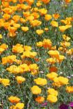 0520-poppies.jpg