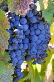 5299-grapes.jpg