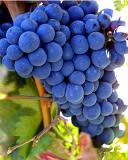 5300-grapes.jpg