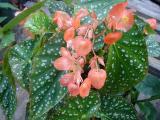 Begonia Peach Parfeit