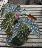 Begonia Desiree