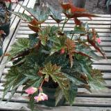 Begonia La Bomba