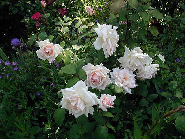 roses older than i am photo gallery by missy. Black Bedroom Furniture Sets. Home Design Ideas