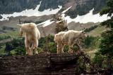 GNP, Montana (JS FAVS)