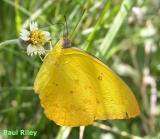 Relegated Butterflies
