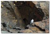 Faucon pèlerin / Peregrine falcon