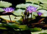 water  lily-3