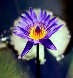 water  lily-5