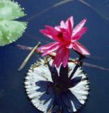 water  lily-92