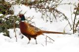 Rooster Ring-necked Pheasant.jpg
