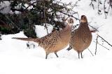 Hen Ring-necked Pheasant.jpg
