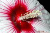 Crimson-Eyed RoseMallow04b.jpg