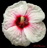 Crimson-Eyed RoseMallow04a.jpg