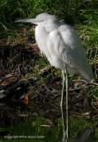 23538  Little Blue Heron juvennile