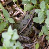 Rio Grande Leopard Frog - Lithobates berlandieri