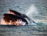feeding Humpback Whale - Megaptera novaeangliae
