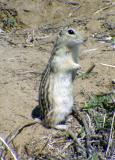 Thirteen-lined Ground Squirrel - Spermophilus tridecemlineatus