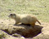 Gunnison's Prairie Dog - Cynomys gunnisoni