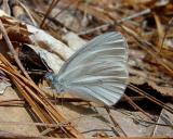 West Virginia White - Pieris virginiensis