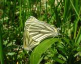 Mustard Whites - Pieris oleracea
