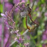 Meadowhawk Dragonflies