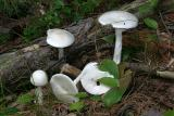Amanita bisporigera (Destroying Angel)